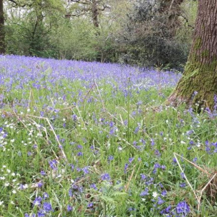 29Apr19 Oyster Wood Bluebells